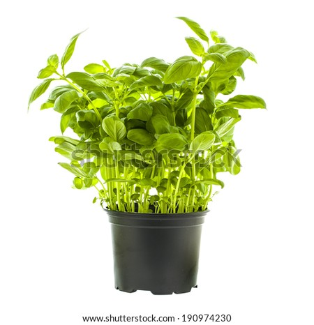 Basil Plant in a Black Pot on a White background - stock photo