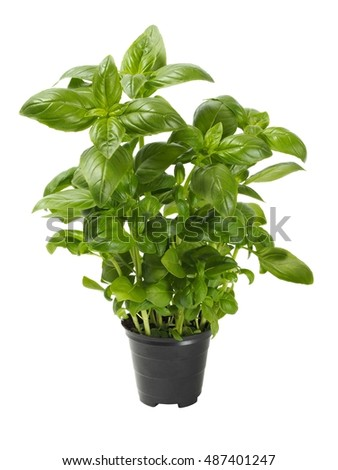 Basil plant in a pot isolated on white background