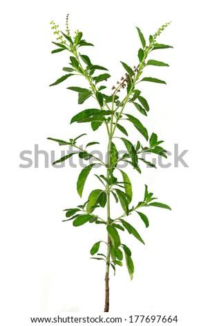 Basil plant on white background - stock photo