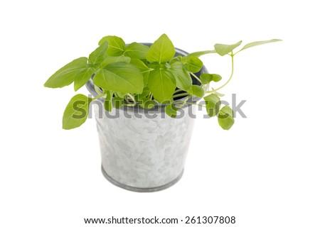 Basil seedlings in metal flower pot isolated on white.  - stock photo