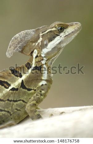 Basilisk Lizard (Basiliscus basiliscus) in Costa Rica rainforest - stock photo