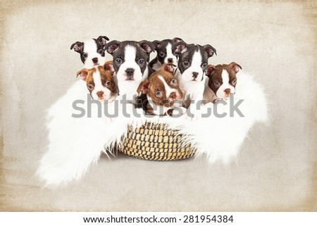 Basket filled with a litter of seven week old Boston Terrier puppies that are all looking at the camera. Photo has a textured brown background.  - stock photo