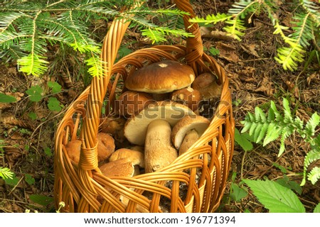 Basket full of boletus mushrooms  - stock photo