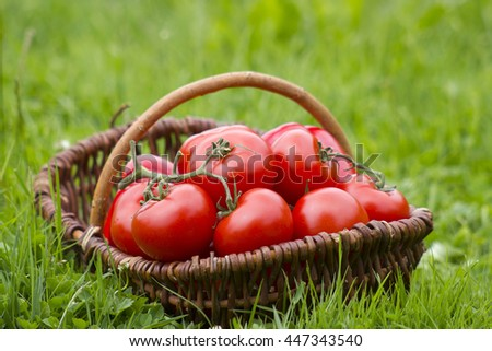 basket full of freshly harvested tomatoes