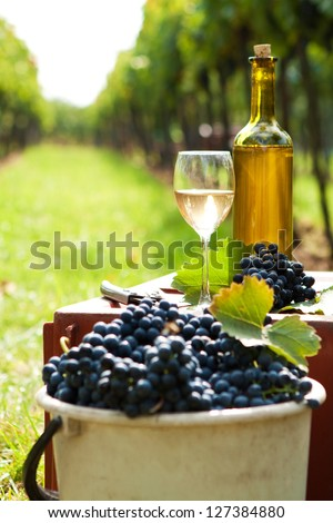 Basket full of grapes on the vine harvest - stock photo