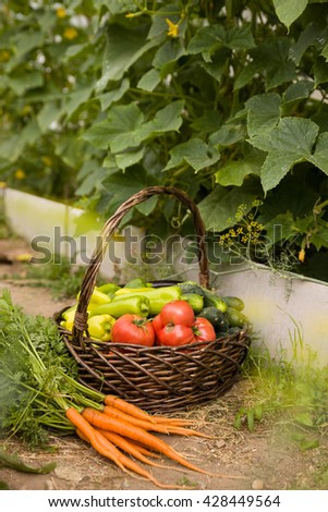 basket full of organic garden vegetables: cucumbers, paprika, tomatoes and fresh carrots. Vitamins from own garden. Vegetables - healthy food and snack. Healthy eating concept. - stock photo