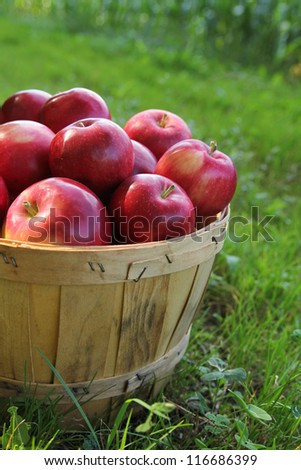 Basket full of red apples in a orchard during fall season