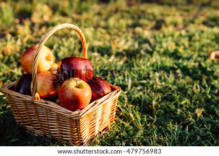 Basket of apples on the green grass in warm golden sunlight