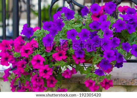 Basket of hot pink and violet petunias  - stock photo
