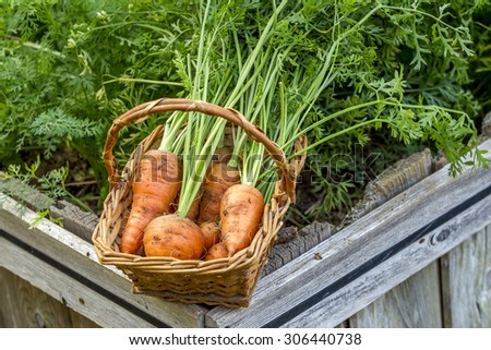 Basket of newly picked carrots. - stock photo