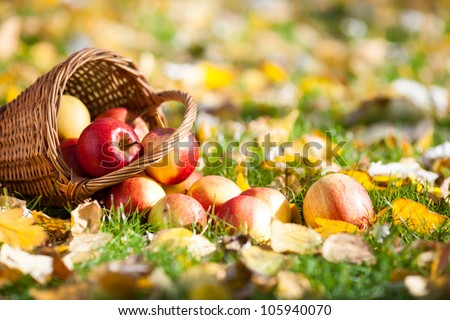 Basket of red juicy apples scattered on yellow leaves in autumn garden