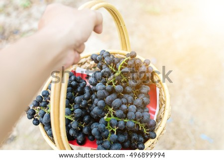 Basket of ripe grapes after harvesting. Purple grapes.