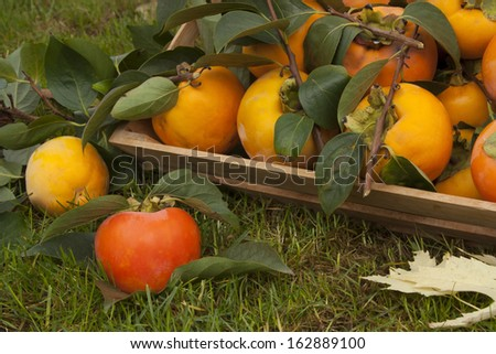 basket on a grass with ripe persimmons and leaves - stock photo