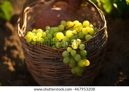 Basket with a jug of wine and grapes. In drops of dew