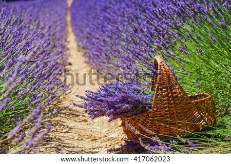 Basket with a lavender in lavander fields in Valensole. Provence, France.