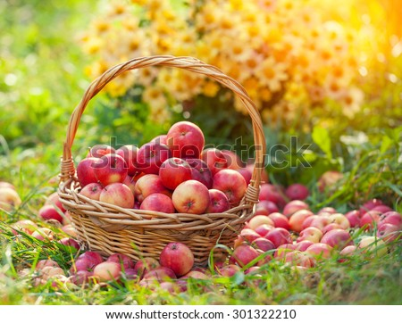 Basket with apples in the grass  - stock photo