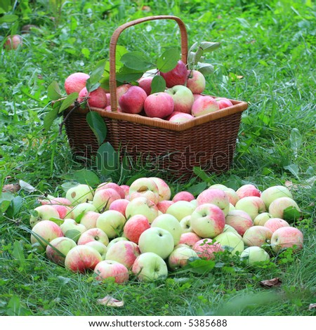 Basket with apples on a grass. Beside apples lay.