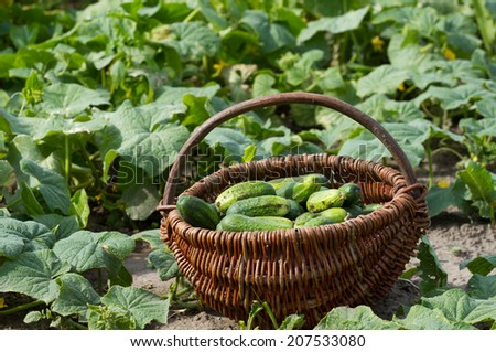 Basket with fresh cucumbers in a vegetable garden - stock photo