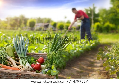 Basket with organic vegetable and farmer working in background