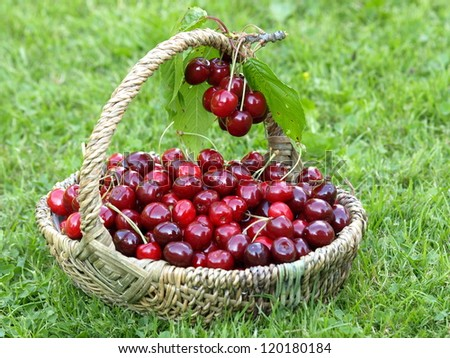 basket with picked cherries - stock photo