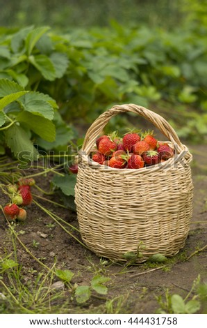 Basket with ripe strawberries berries in the garden - stock photo