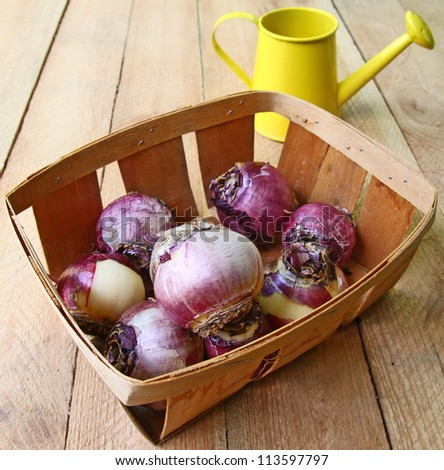Basket with the bulbs of hyacinths and yellow watering-can