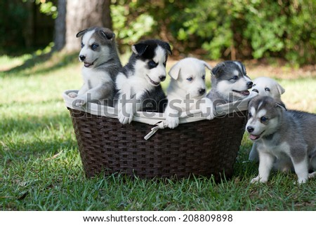 Basketful of Wolf Hybrid Puppies - stock photo