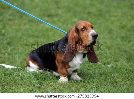 basset hound - stock photo