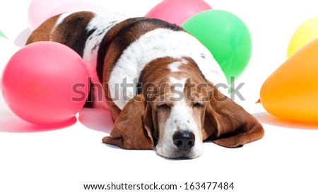 Basset hound amidst balloons isolated on white - stock photo