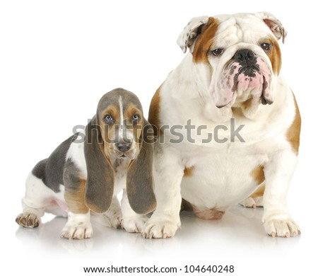 basset hound and bulldog - basset hound puppy and english bulldog sitting beside each other on white background - stock photo