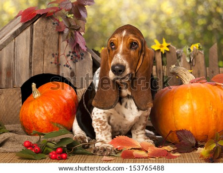 Basset Hound and pumpkin - stock photo