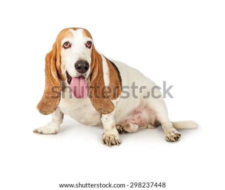 Basset Hound breed dog sitting to the side on a white background - stock photo