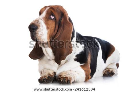 basset hound dog - stock photo