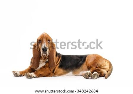 Basset Hound dog laying on the white background  - stock photo