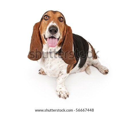 Basset Hound dog looking up and isolated on white