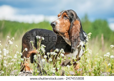 Basset hound dog on the meadow - stock photo