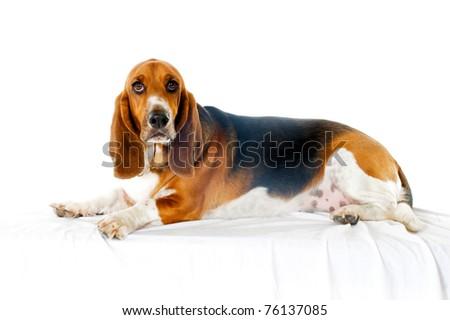 Basset Hound dog on white background - stock photo