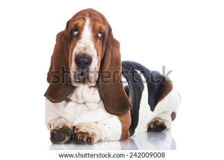 basset hound dog portrait on white - stock photo