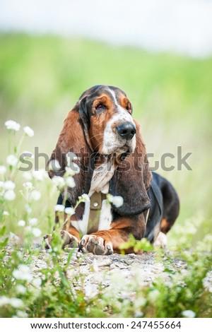 Basset hound dog sitting in flowers - stock photo