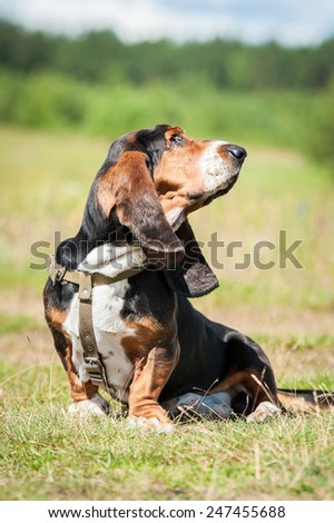 Basset hound dog sitting on the meadow - stock photo