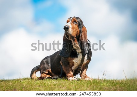 Basset hound dog sitting on the top of the hill - stock photo