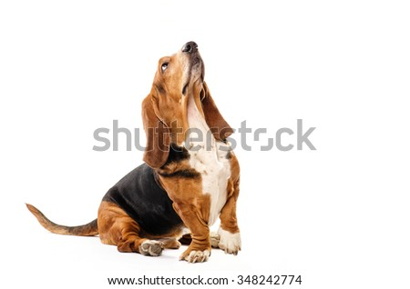 Basset Hound dog sitting on the white background and looking up - stock photo