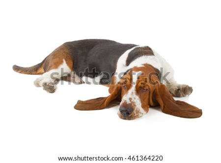 Basset Hound dog sleeping isolated on white background