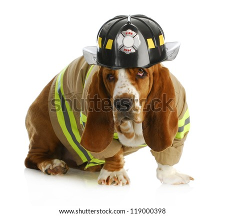 basset hound dressed up like a fire fighter isolated on white backgroun - stock photo
