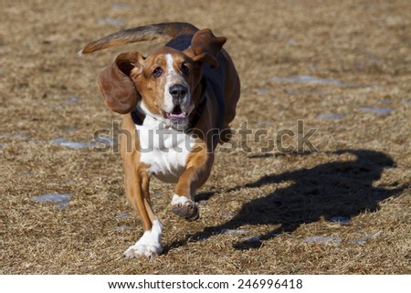 Basset hound having fun at Colorado off leash dog park