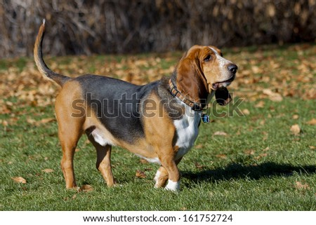 Basset hound having fun in Colorado off-leash dog park