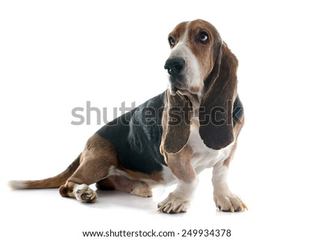 basset hound in front of white background - stock photo