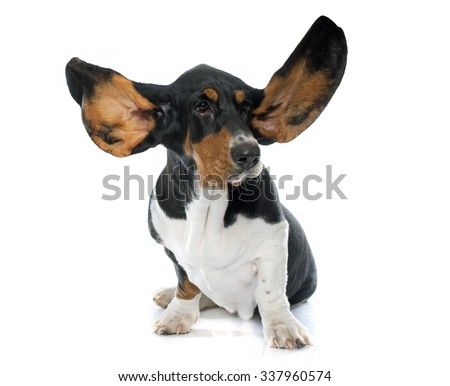 Basset Hound in front of white background