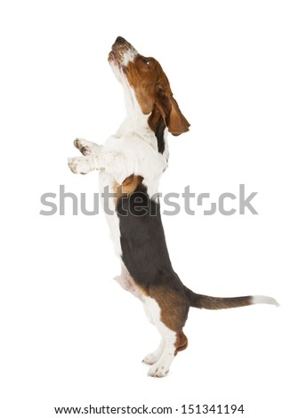 Basset Hound isolated on white background - stock photo