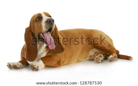 basset hound laying down with tongue out isolated on white background - stock photo